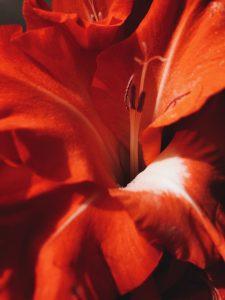 amarylis-rouge